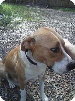Tampa Fl Catahoula Leopard Dog American Bulldog Mix Meet Lovie