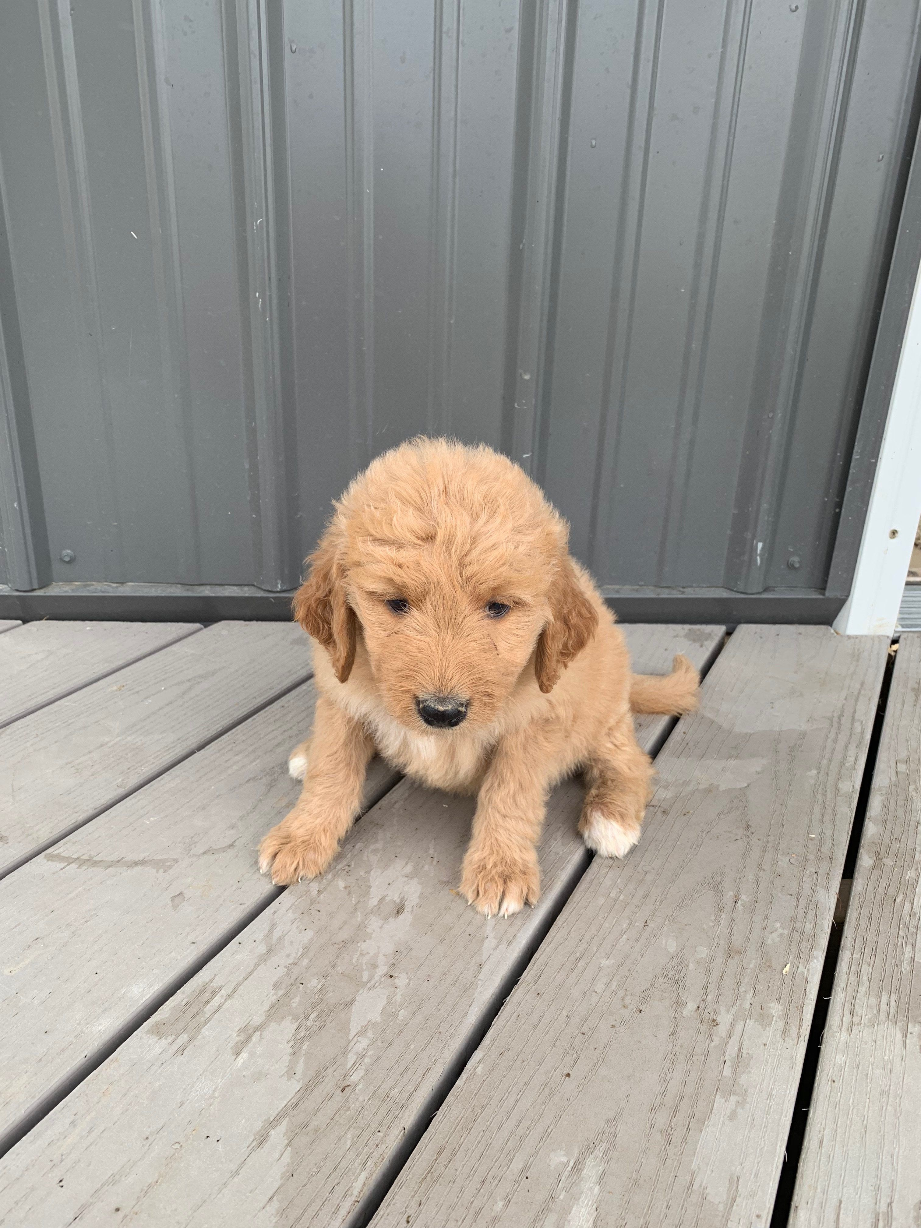 Meet Lucy Female Ica Goldendoodle Puppy For Sale In Tuscola