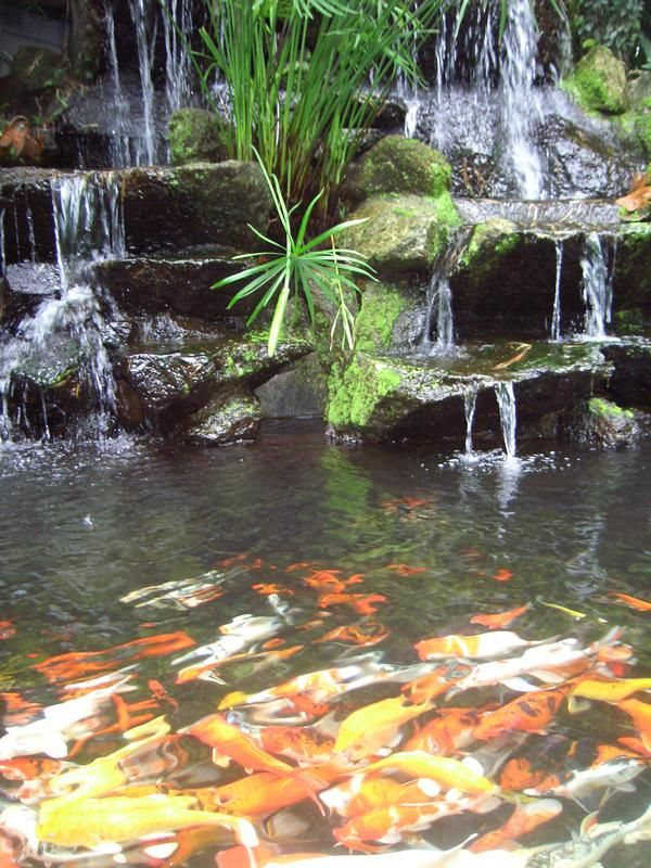 Koi fish pond in phuket province in southern thailand for Cool koi ponds