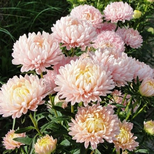 Aster Seeds Peony Duchess Apricot Flower Seeds Aster Flower French Flowers