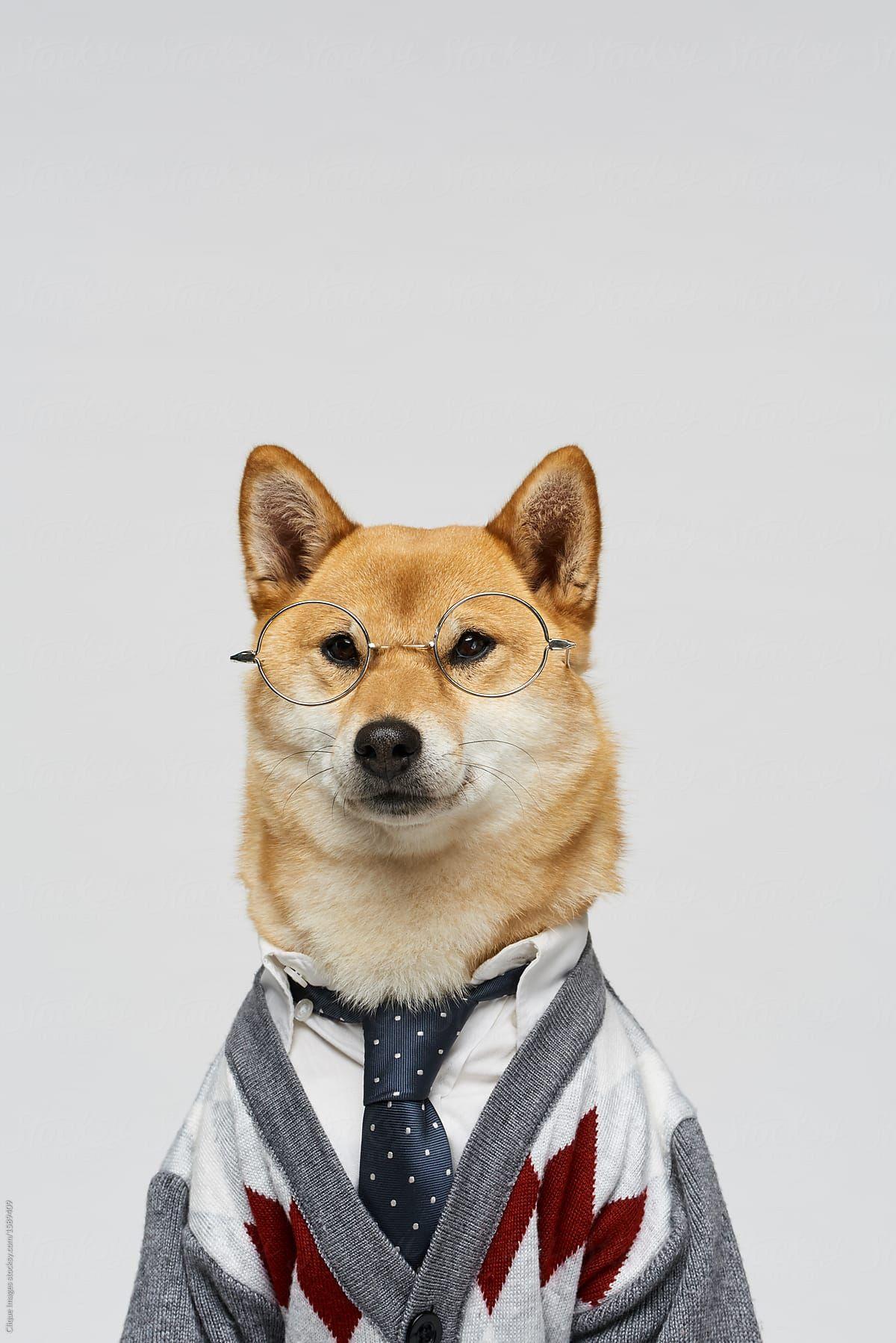 Portrait Of Charming Shiba Inu Wearing Glasses Stylish Cardigan And Tie On White Wall Background Cute Animals Menswear Dog Animals