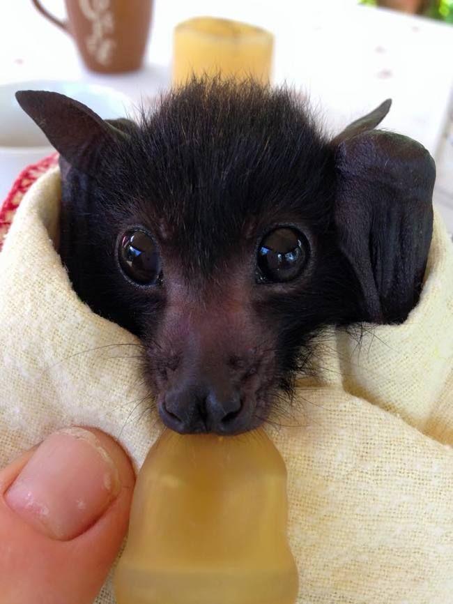 Adorable Orphaned Bats Get A Second Chance At This Australian Clinic Baby Bats Cute Animals Cute Bat