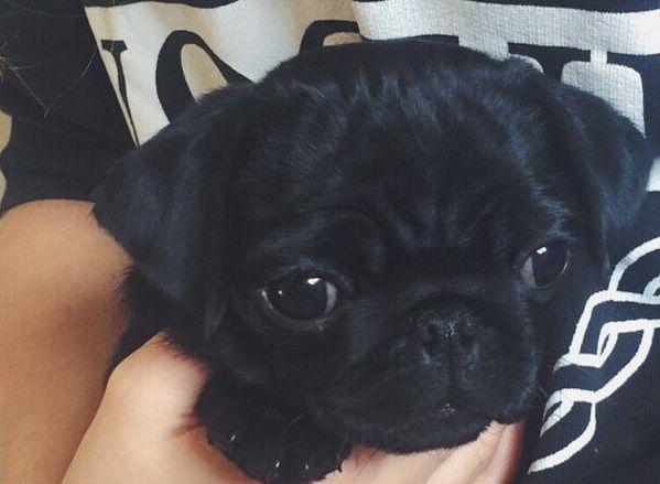 Zoella S Dog Nala Omg I Love Pugs I Weatn One Baby Pugs Cute
