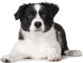 Border Collie Rescue Of Minnesota Border Collie Border Collie Puppies Collie