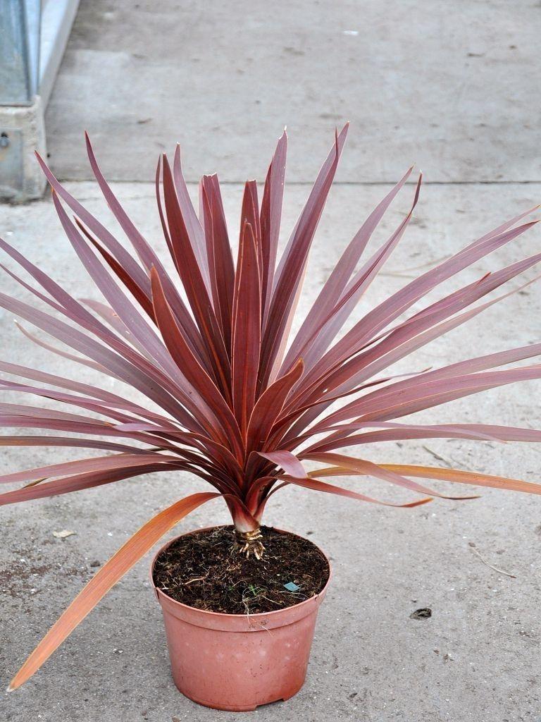 Medium Crop Of Cordyline Red Star