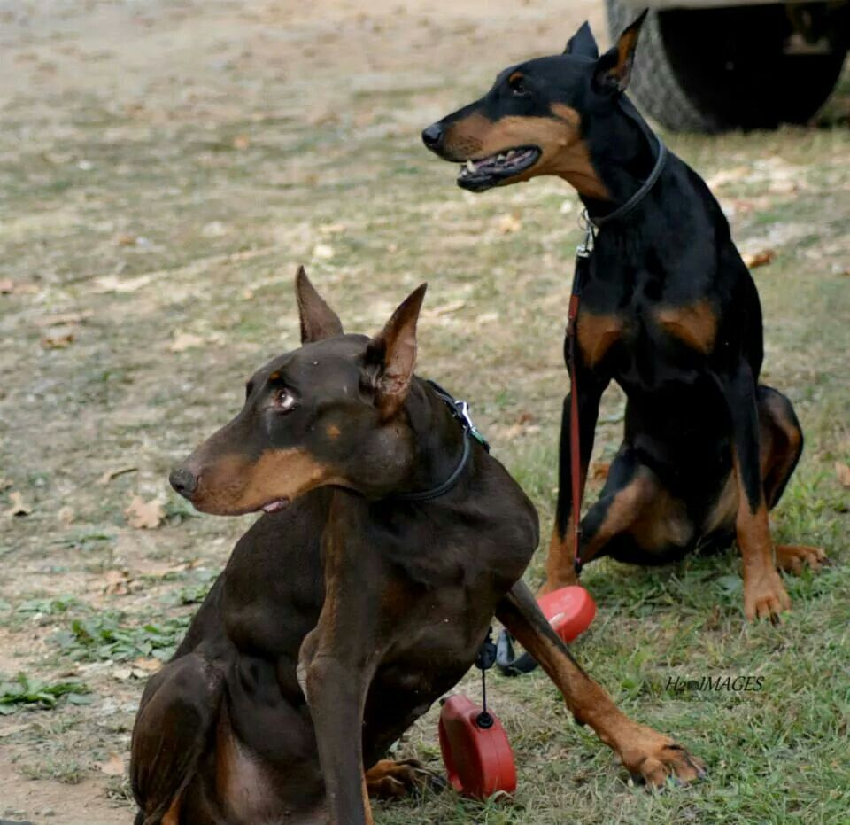 Missouri Search And Rescue K 9 Jaeger And Lexy Doberman Pinscher