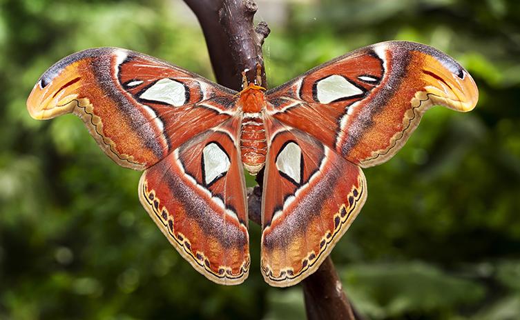 Atlas Moth Facts Habitat Diet Life Atlas Moth Types Of Moths Moth