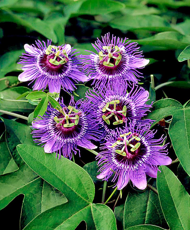 Fleur De La Passion Van Crato Graines Passion Flower Plant Unusual Flowers Strange Flowers
