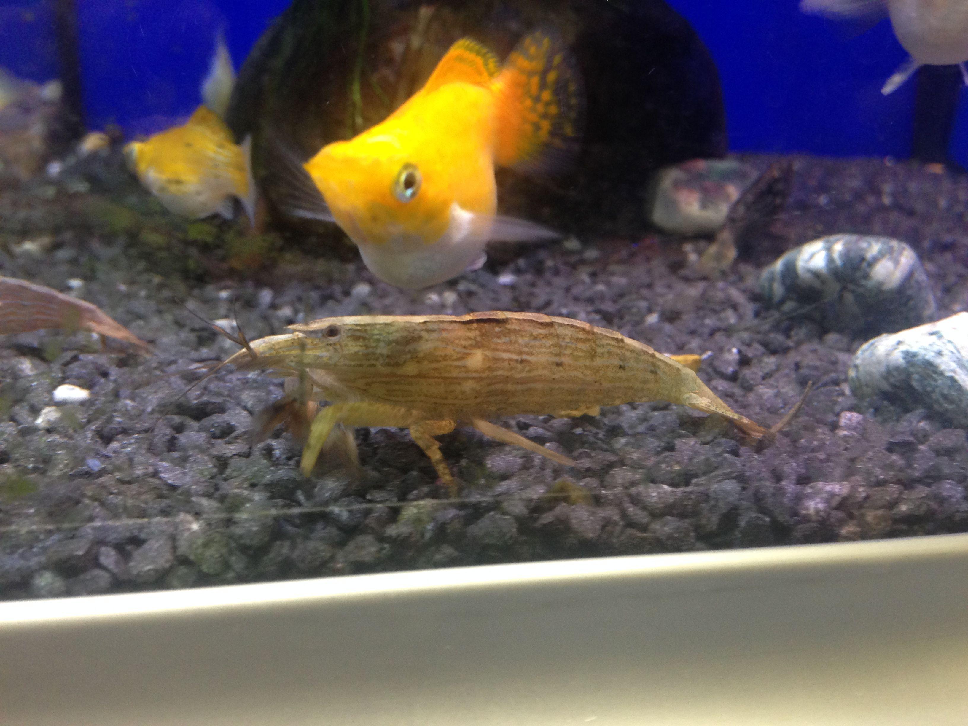 "Wood Shrimp (Green light) ""Interesting filter feeding"