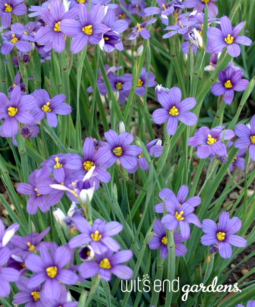 Blue eyed grass is not really a grass at all but part of the lily blue eyed grass is not really a grass at all but part of the lily family it has bright purple blue star like flowers that bloom a long time izmirmasajfo