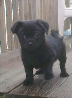 Jax The Pug A Poo Puppy At 3 Months Old He Is Part Pug And Part