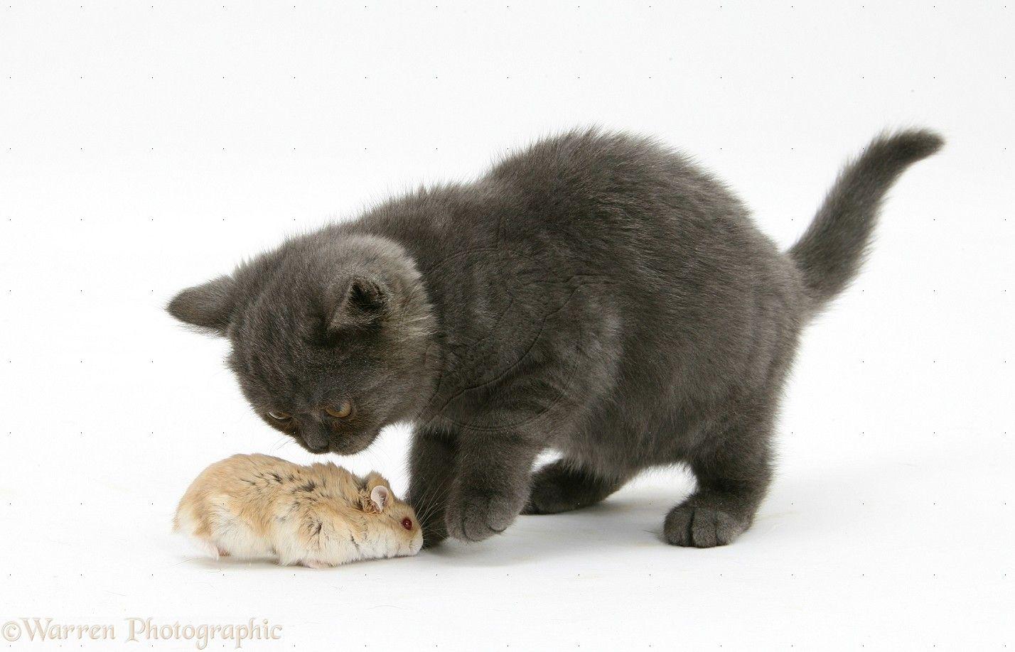 Siberian Dwarf Hamster Grey Kitten Siberian Hamster Kitten