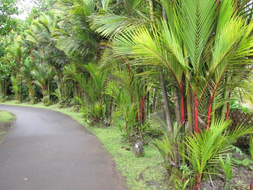 C mo cuidar a la palmera roja palmeras garden edging for Plantas de interior tipo palmera