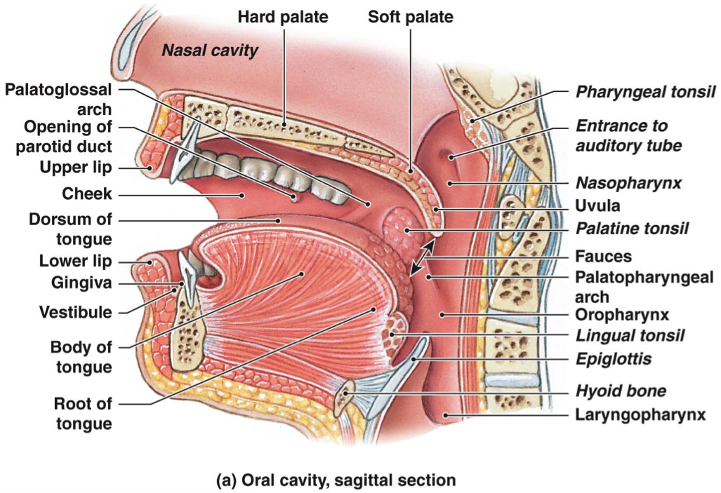 alveolar ridge anatomy - Google Search | Science | Pinterest