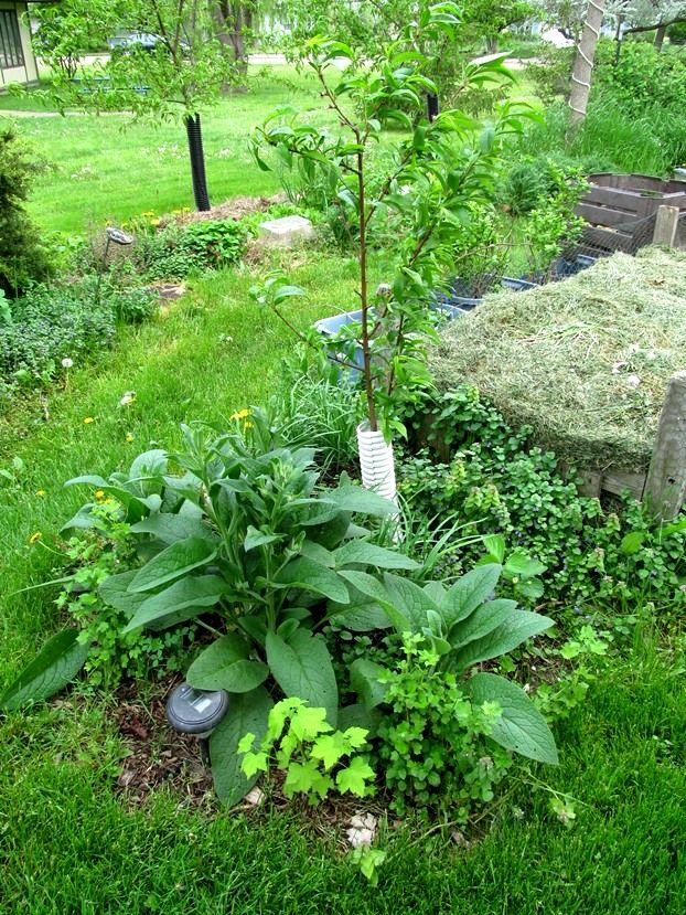 A 1-year old guild planted around young peach tree; comfry