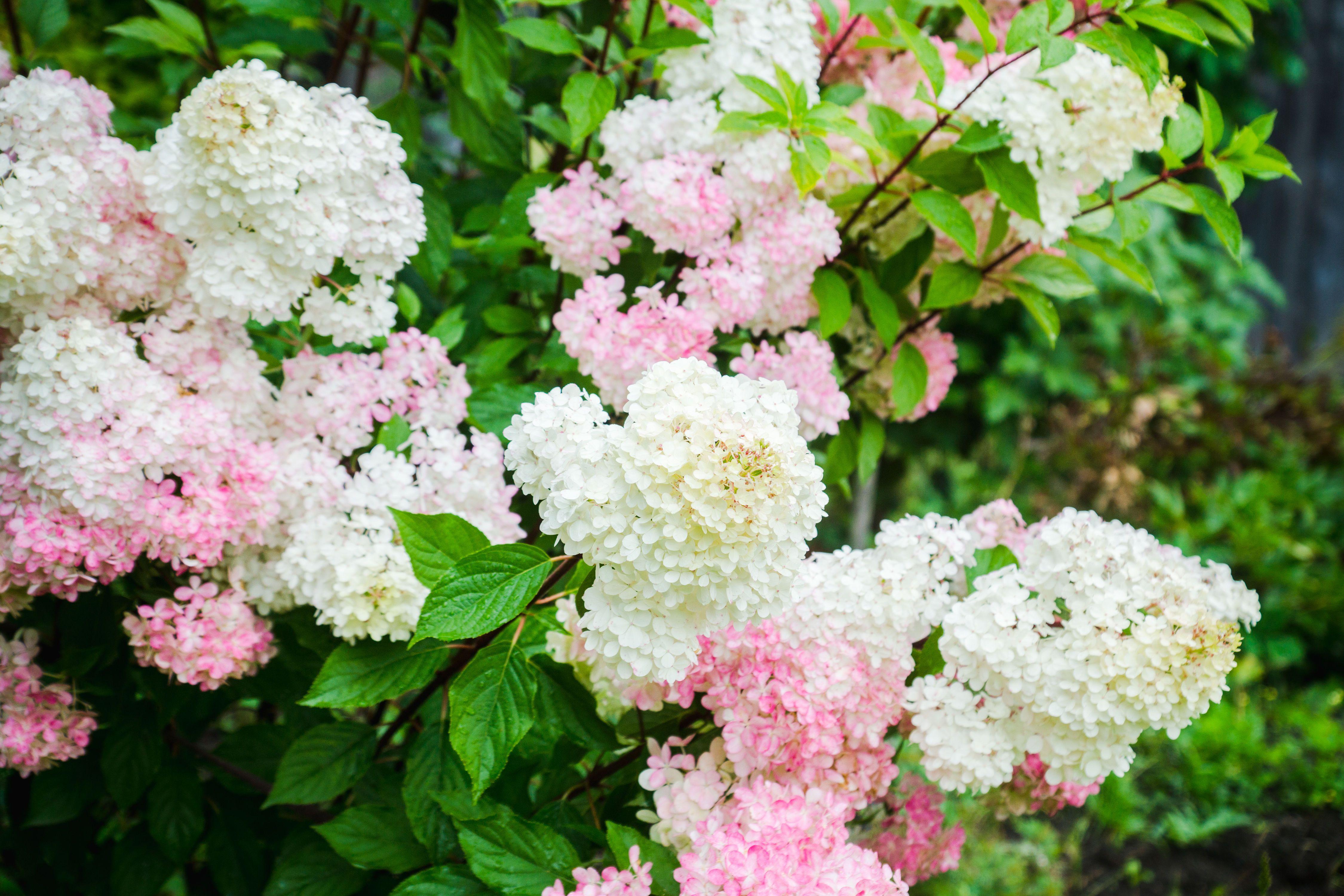 Vanilla Strawberry Hydrangea Is The Shrub Your Garden Needs Vanilla Strawberry Hydrangea Strawberry Hydrangea Planting Hydrangeas