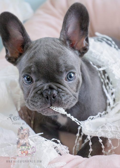 Beautiful blue French Bulldog puppy by TeaCups, Puppies & Boutique! #frenchie #frenchbulldog #puppy #puppies #blue #bluefrenchie #cuteteacuppuppies