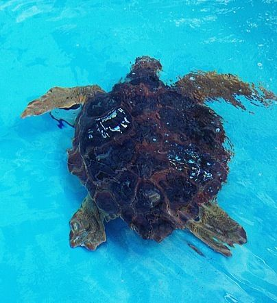 Recovering Sea Turtle At The Loggerhead Marine Life Center Juno Beach Florida