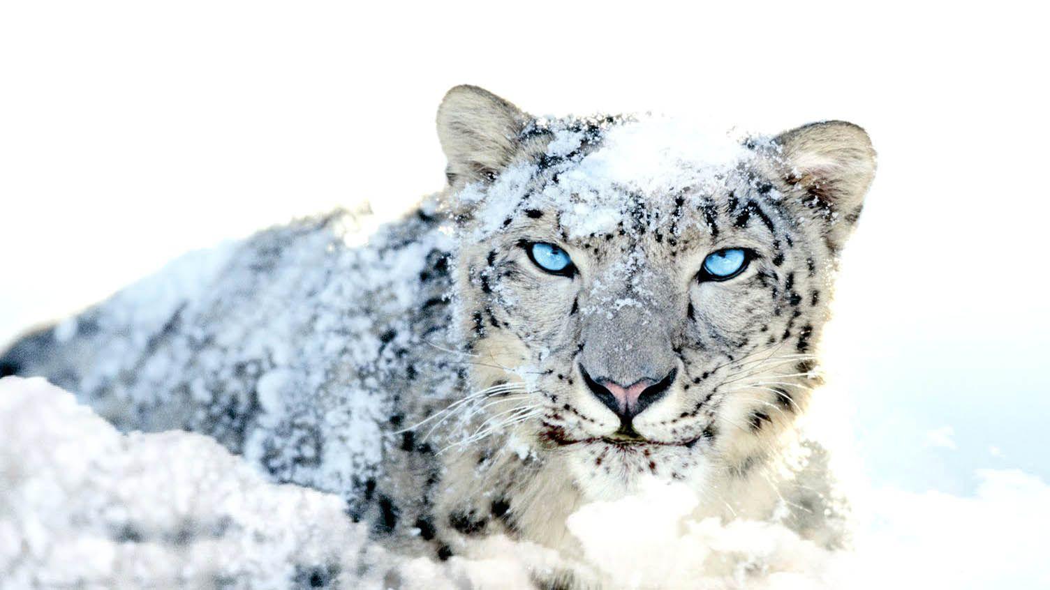Leopard Blue Eyes Cool Animals Wild Life Animal World Wallpaper