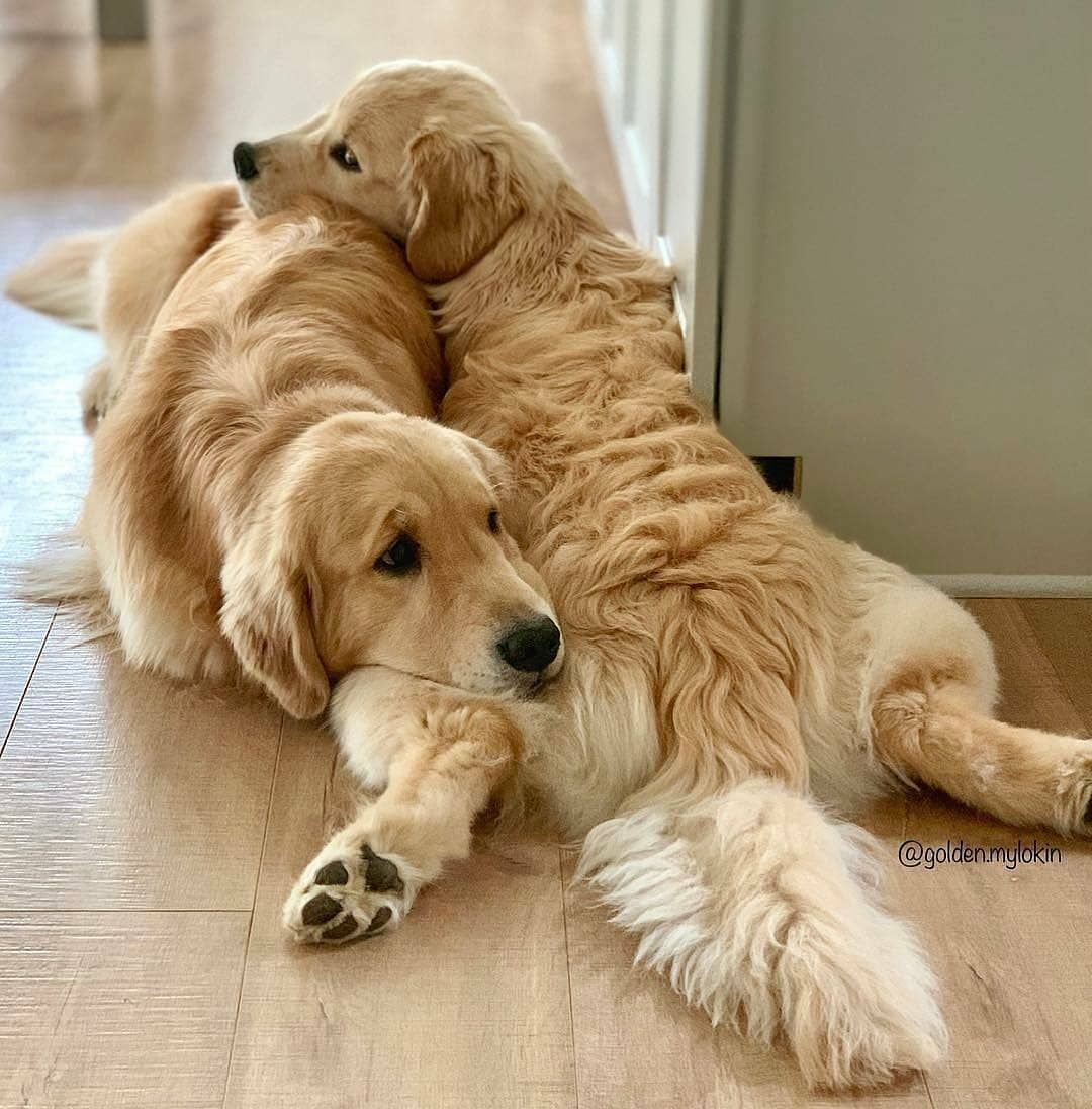 I Am A Labrador Owner In This Page I Will Provide Labrador Retriever Puppies Labrador Retriever Facts And Lab Retriever Puppy Golden Retriever Beautiful Dogs