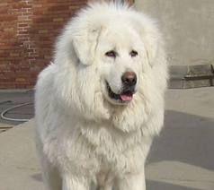 white tibetan mastiff aka polar bear dogs i want mine to have the same haircut in the future. Black Bedroom Furniture Sets. Home Design Ideas