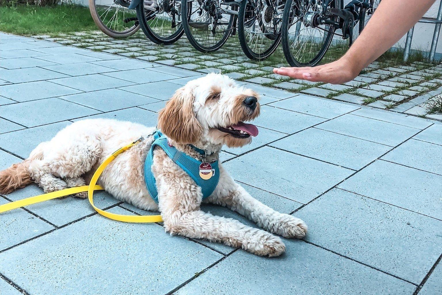 Die Ersten 5 Grundkommandos Fur Deinen Welpen Welpen Hunde Welpen Erziehung Hunde Welpen