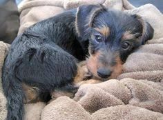 Image Result For Welsh Terrier Dachshund Mix Yorkshire Terrier