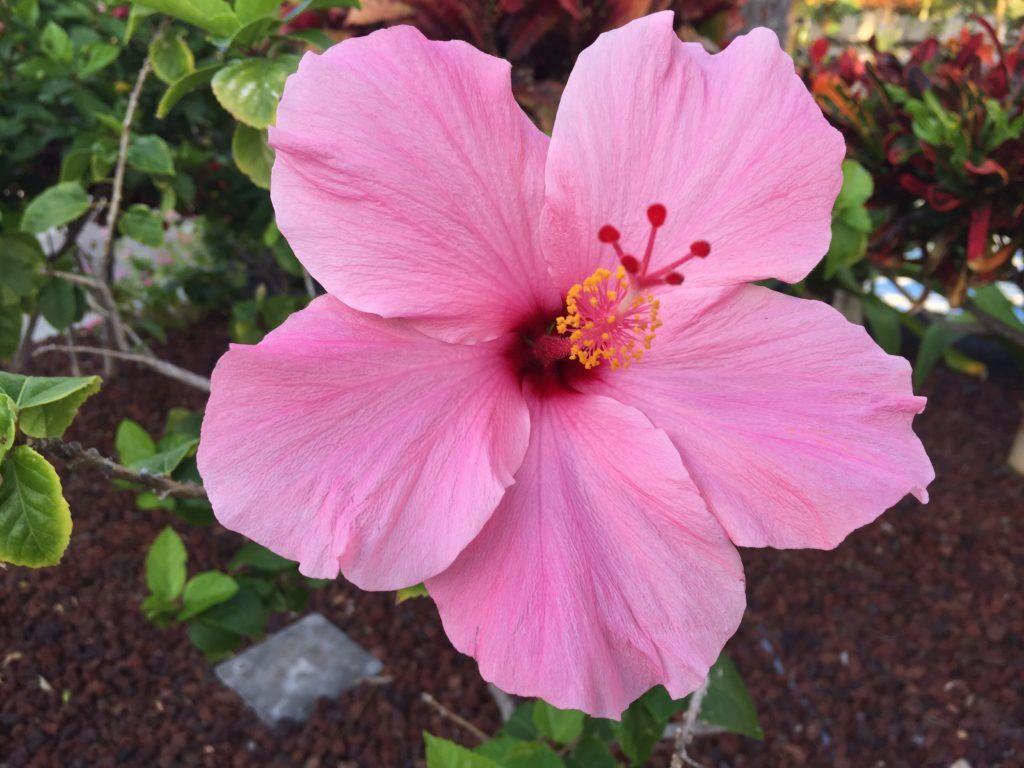 Grow a herbal tea garden hibiscus flowers hibiscus and gardens grow a herbal tea garden family food garden hibiscus flower izmirmasajfo Gallery