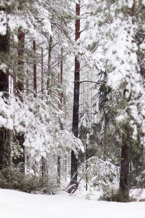 Barskog i snødrakt