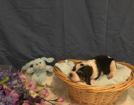 Basset Hound Puppy For Sale In Taylors Sc Adn 28959 On Puppyfinder