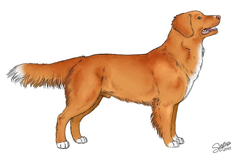 Nova Scotia Duck Tolling Retriever By Sigitius On Deviantart Nova Scotia Duck Tolling Retriever Dog Drawing Toller Dog