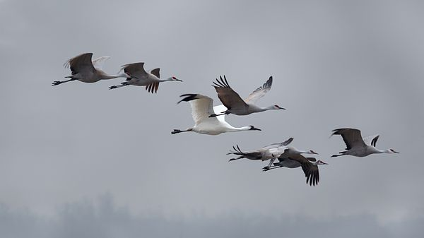 A Whooping Crane flying with the Sandhill Cranes