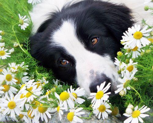 The Collie Flower Bed Collie Hund Border Collie Welpen Und Collie
