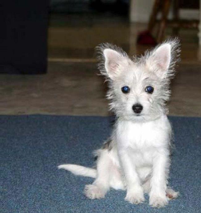 Chihuahua Maltese Mix Water Sky Chihuahua Mix Chihuahua Mix Puppies Pomeranian Chihuahua Mix