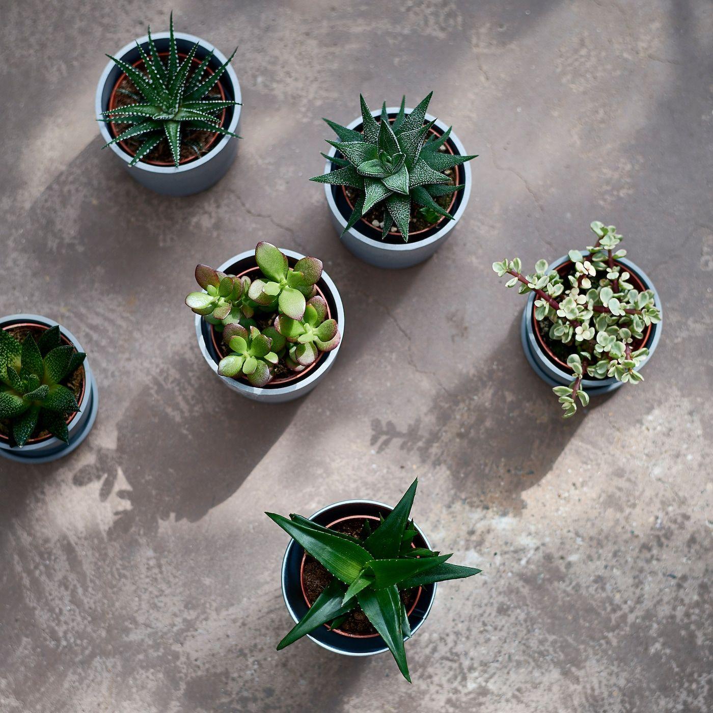 SUCCULENT assorted, Potted plant, Diameter of plant pot: 9 cm - IKEA