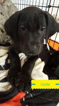 Great Dane Puppy For Sale In Pueblo West Co Adn 28740 On