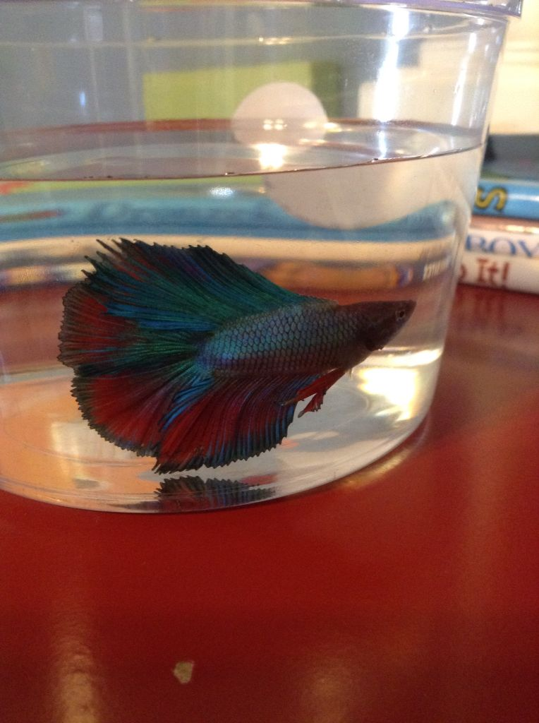Mars Betta Male Double Tail From Petco Betta Fish Betta Aquarium Fish