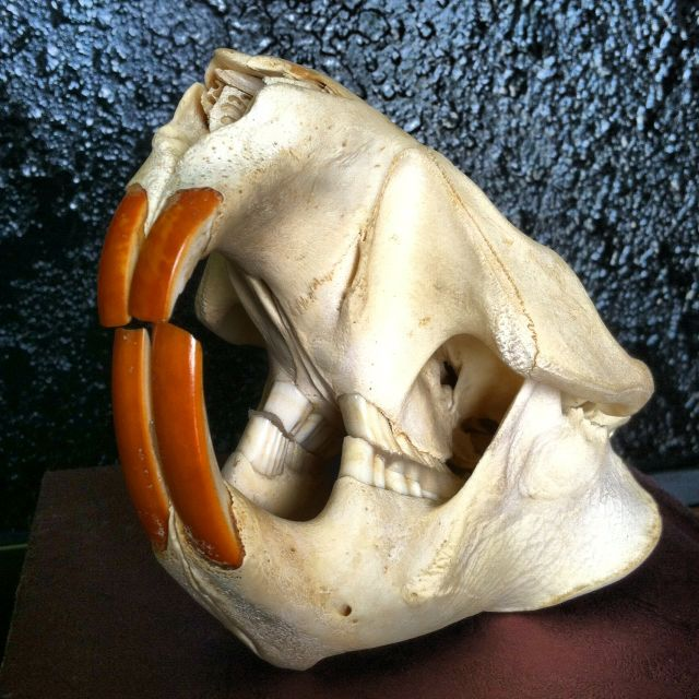 Beaver skull | I have a thing for skulls and whatnot.. | Pinterest