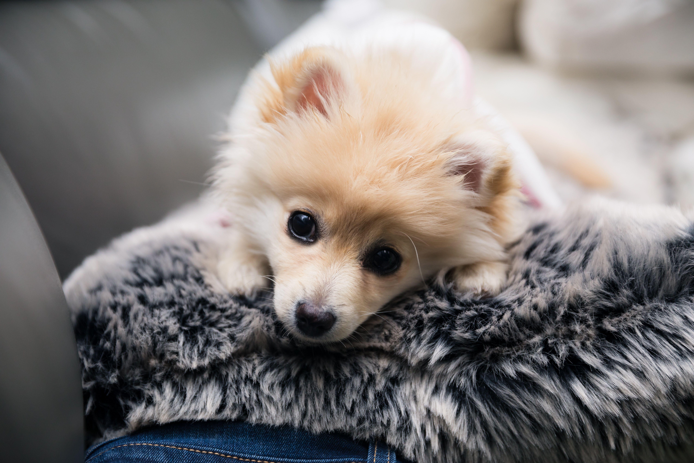 Cream Pomeranian Puppy Ig Myteddybella Pomeranian Puppy