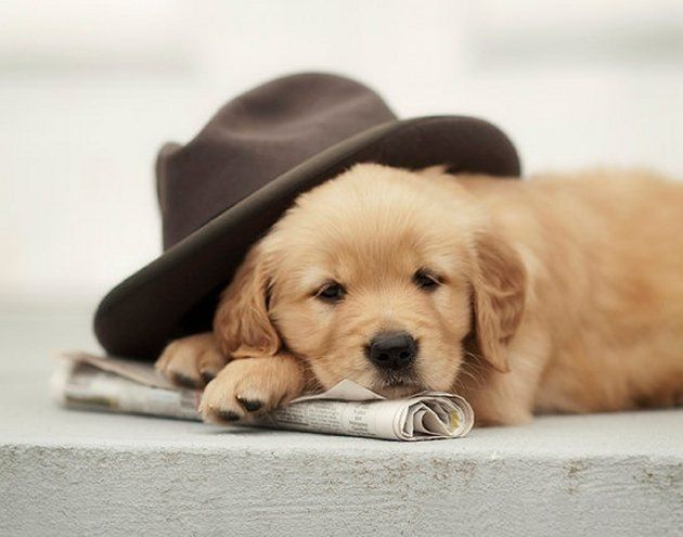 Cute Golden Retriever Puppy Puppies Cute Baby Animals Cute Animals
