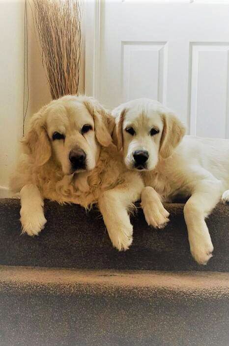 Stair Goals Who Loves Golden Retrievers The Perfect Remedy To A