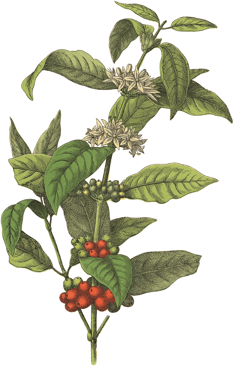 Botanical Print Of Coffee Bean Flower Blossoms Berries Plant Coffee Plant Coffee Drawing Coffee Pictures
