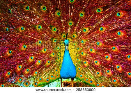 stock-photo-digital-painting-of-a-beautiful-peacock-displaying-258653600.jpg (450×320)