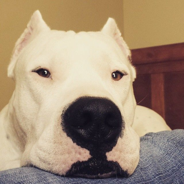 Dogo Argentino Mastiff Breeds Dogs Pets