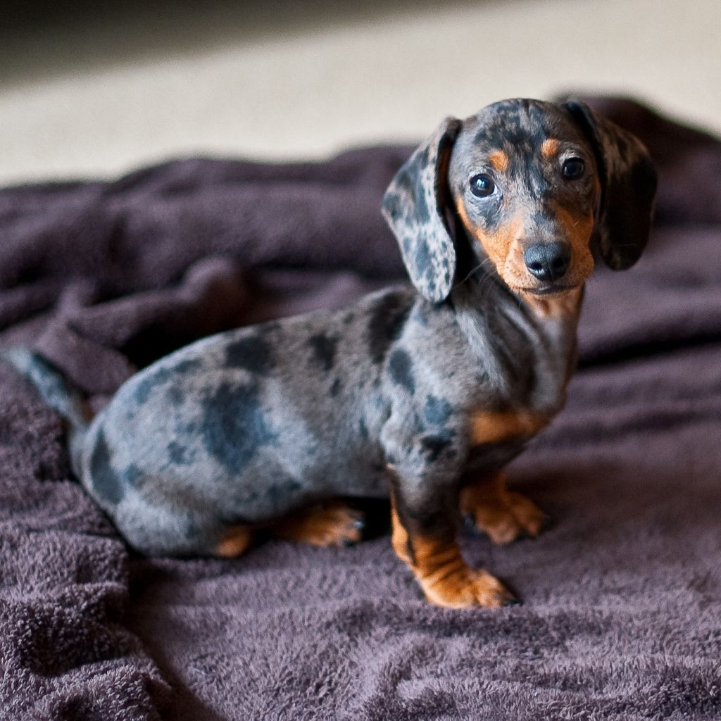 Apple Dapple Dachshund Puppy Dapple Dachshund Weenie Dogs