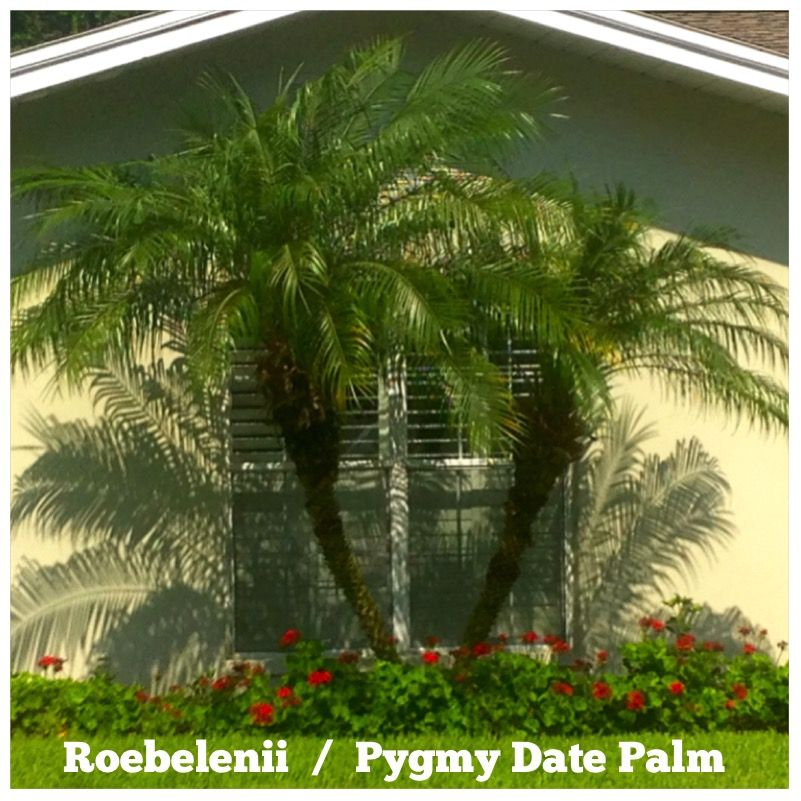 Roebelenii Palm Trees A Classic Low Maintenance Staple In