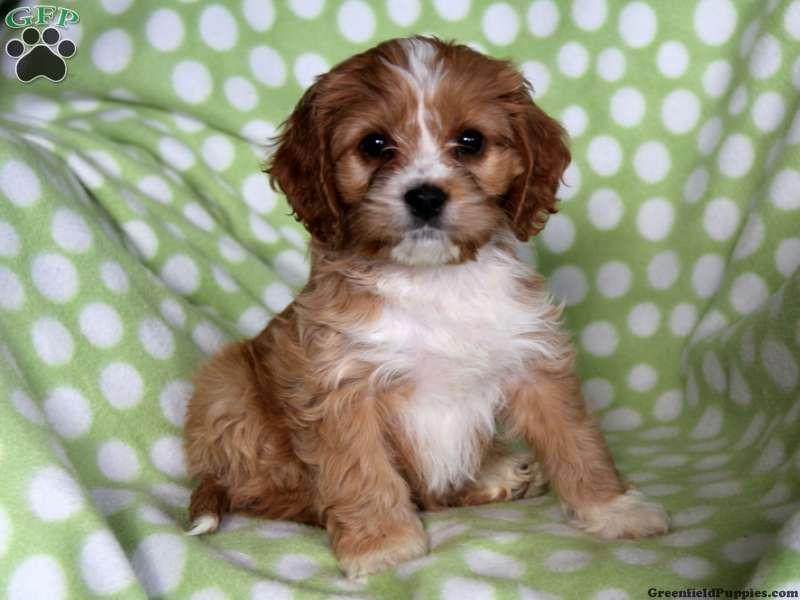 Cordelia Siberian Husky Mix Puppy For Sale In Pennsylvania