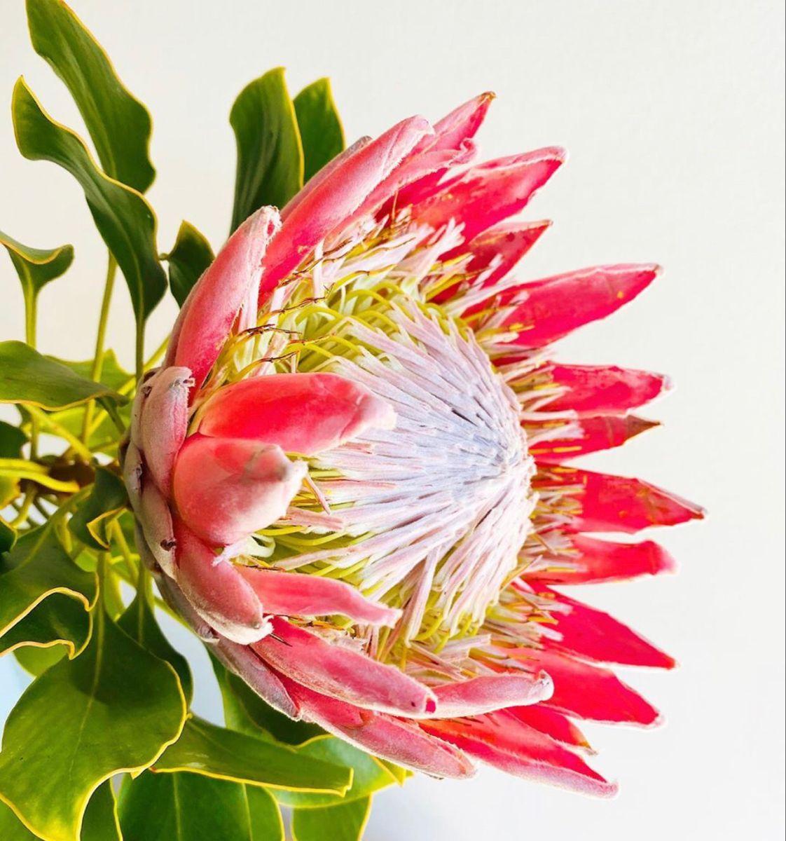 Order King Protea Flower For Bulk Sale Pink King Protea In 2020 Protea Flower Ginger Flower Wholesale Flowers