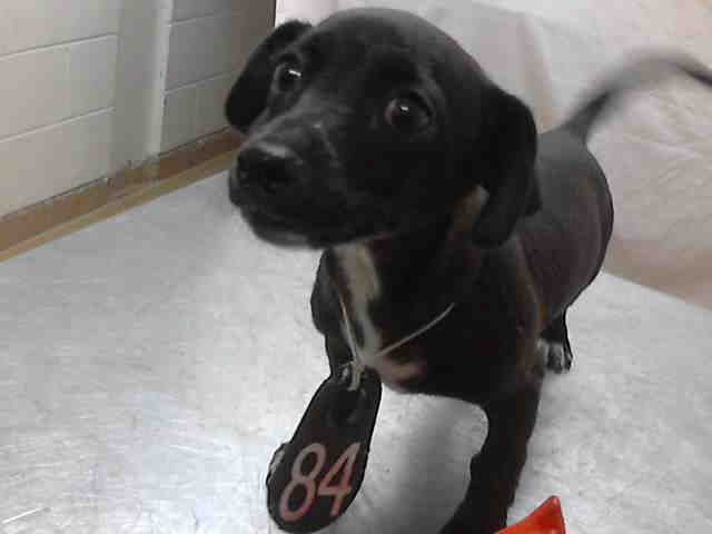 Texas Id A397363 Is A 10wk Dachshund Doxie Puppy In Need Of A Loving Adopter Rescue At Harris County Public Health En Pet Adoption Dog Adoption Pets