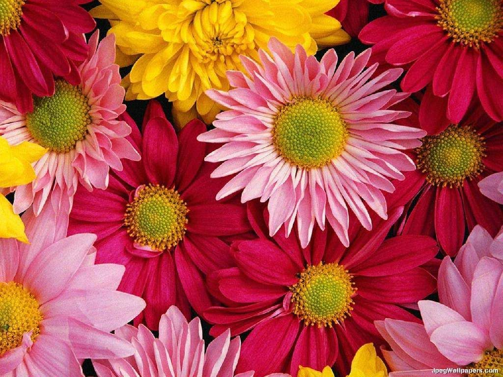 Daisy field trees and flowers pinterest daisies daisy field hd shopping colorful nature gerber daisies flower petals small square tile yes i can say you are on right site we just collected best shopping store that have dhlflorist Choice Image
